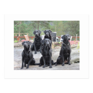Labradors in Noorwegen Briefkaart