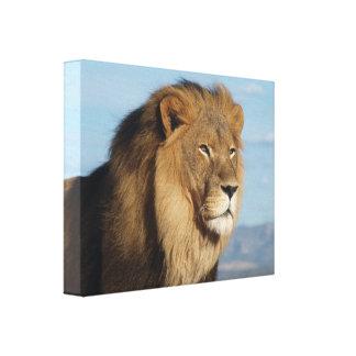 Leeuw Canvas Afdruk