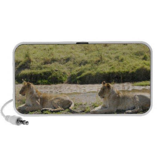 leeuw (leo Panthera), twee jonge leeuwin, Masai Speaker Systeem
