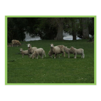Leuke Groep Schapen die Gras eten Briefkaart