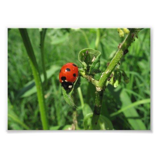 Lieveheersbeestje en Aphids Foto Afdrukken
