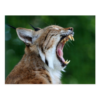 Lynx, bobcat mooi fotobriefkaart briefkaart