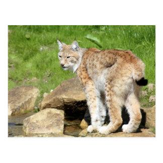 Lynx Briefkaart