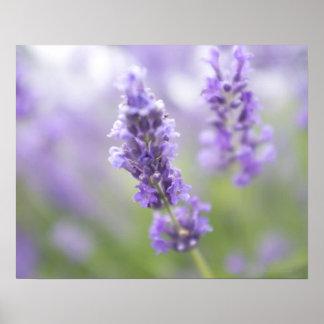 Macro afbeelding van lavendelbloemen met zeer poster