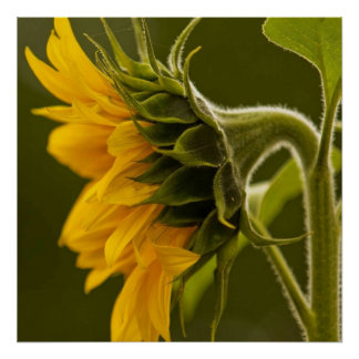 Macro gele zonnebloem poster