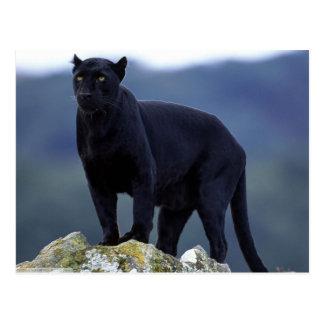 Majestueuze Zwarte Panter Briefkaart