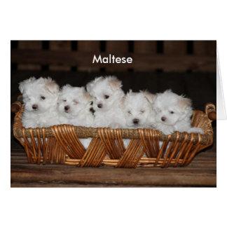 Maltees, Puppy, Mand, Klantgerichte Nota Kaart