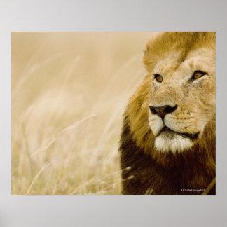 Mannelijk leeuw (leo Panthera) portret, Masai Poster