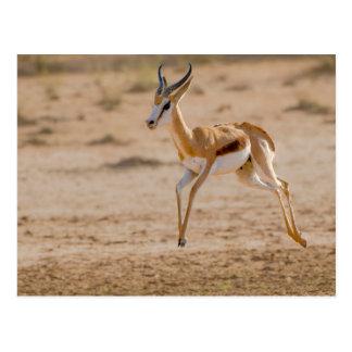 Mannelijke Springbok die (Marsupialis Antidorcas) Briefkaart