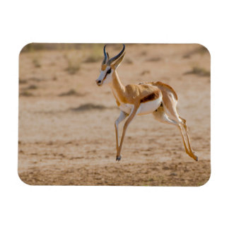 Mannelijke Springbok die (Marsupialis Antidorcas) Magneet