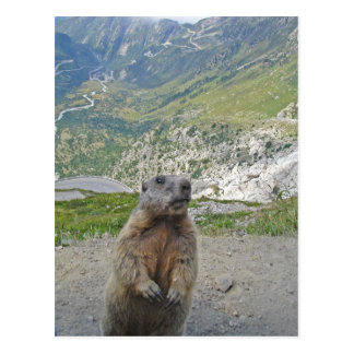Marmot bij Pas Furka Briefkaart