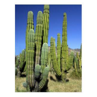 Mexico, Sonora, San Carlos. De Pijp van Saguaro & Briefkaart