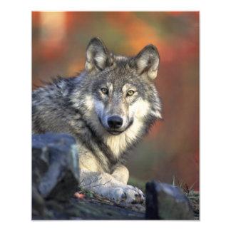 Mooie Wolf Fotoafdruk