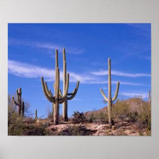 Multi bewapende ReuzeSaguaro cactus, Saguaro Poster