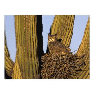 Na, de V.S., Arizona, Tucson. Grote gehoornde uil Foto Afdruk