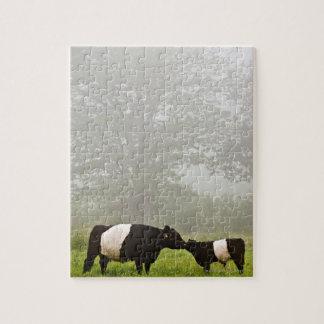 Nevelige scène van omgorde Galloway koe die haar Puzzels