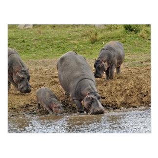 Nijlpaard, amphibius van het Nijlpaard, Serengeti Briefkaart