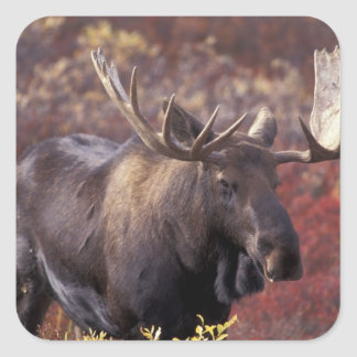 Noord-Amerika, de V.S., Alaska, Denali NP. Alces Vierkante Sticker