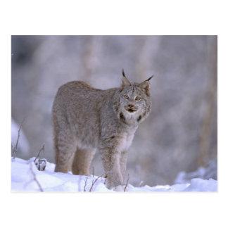 Noord-Amerika, de V.S., Alaska, Haines. Lynx Briefkaart