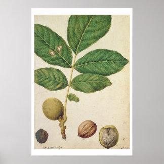 Okkernoot, c.1568 (w/c op papier) poster