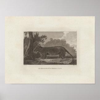_opossum, Bestelwagen Diemen Land, Tasmanige Poster