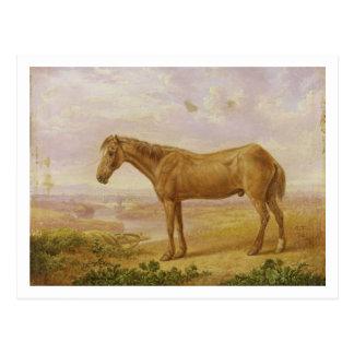 Oude Billy, een Paard van de Trekking, op de Briefkaart