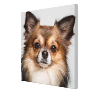 Overweldigend chihuahuaportret canvas print