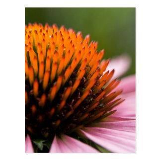 Paarse Coneflower   Sonnenhut Briefkaart