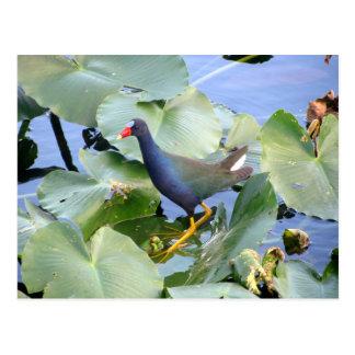 Paarse Gallinule op het Stootkussen van de Lelie Briefkaart