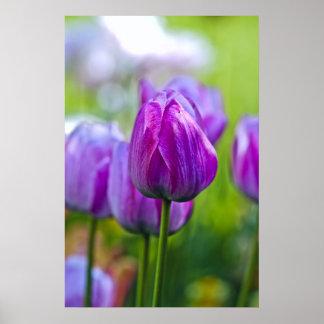 Paarse Tulpen Poster