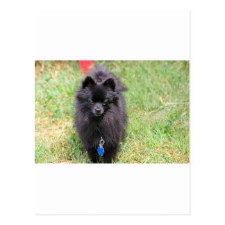 Pablo Pomeranian Briefkaart