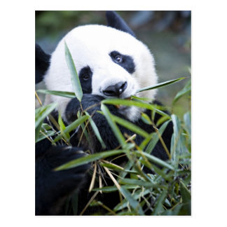 Panda die bamboespruiten Alluropoda eten Briefkaart