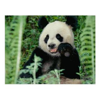 Panda het bos, Wolong, Sichuan, China Briefkaart