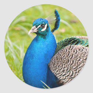 Pauw, peafowl, vogelstickers, giftidee ronde sticker