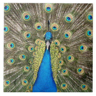 Pedro Peacock Feathers Colorful Bird Peafowl Tegeltje