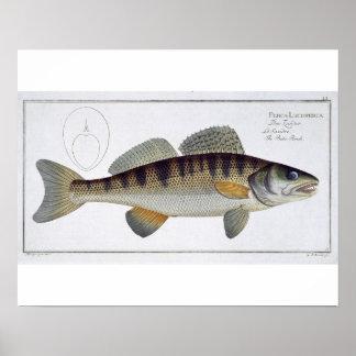 Pike-Perch (lucioperca Perca) bordLi van 'Ichth Poster
