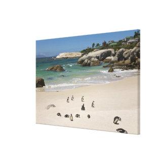 Pinguïnen bij het Strand van Keien, Simons Stad, Canvas Afdrukken