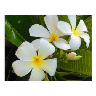 Plumeria Frangipani Hawaï Briefkaart