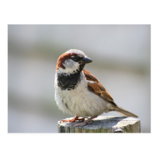 Postcard: Sparrow Briefkaart