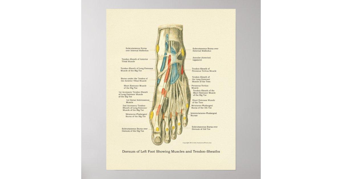 Poster van de anatomie van de voet van de enkel - Baby voet verkoop ...