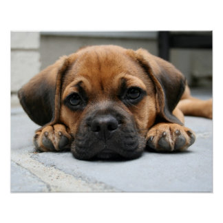 puggle puppy poster