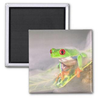 Red Eye Treefrog in de mist, Agalychinis Magneet
