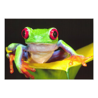 Red Eye Treefrog op een Calla Lelie, Agalychnis Foto Afdruk