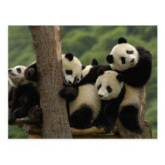 Reuze melanoleuca) babys van Ailuropoda van panda Briefkaart