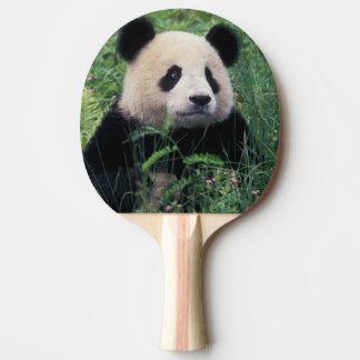 Reuze panda in het gras, Wolong Vallei, Sichuan Tafeltennis Bat