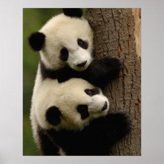 Reuze pandababys (melanoleuca Ailuropoda) 2 Poster