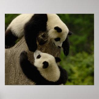Reuze pandababys (melanoleuca Ailuropoda) 5 Poster