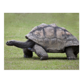 Reuze schildpad in gras briefkaart