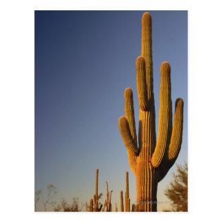 Reuze Seguaro Cactus, Nationale de Pijp van het Briefkaart