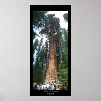 Reuze Sequoia Poster